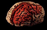 heart in brain