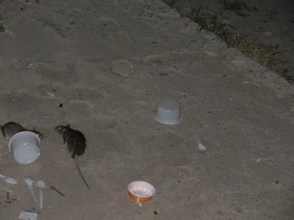 موش در زاینده رود